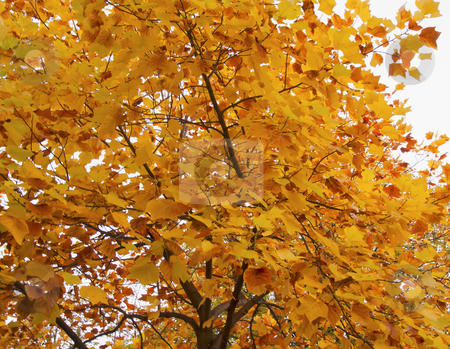 Leaves stock photo, View of golden yellow leaves pending from a tree by Fabio Alcini