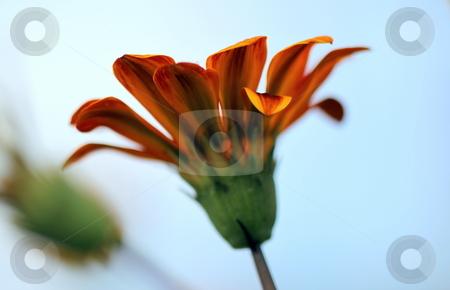 Gazania stock photo, Beautiful orange yellow gazania flower with view from below by Henrik Lehnerer