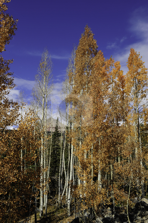 Red aspens leaves stock photo, Aspen tree turning red during fall by Don Fink
