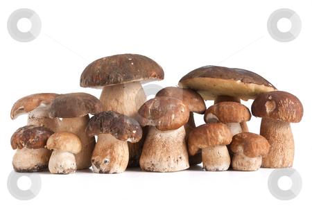 Boletus Edulis mushrooms stock photo, Group of Boletus Edulis mushroom isolated on white background by ANTONIO SCARPI