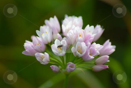 Kanten-Lauch (Allium angulosum) stock photo, Der Kanten-Lauch (Allium angulosum) ist eine Pflanzenart aus der Gattung Lauch (Allium). by Wolfgang Heidasch