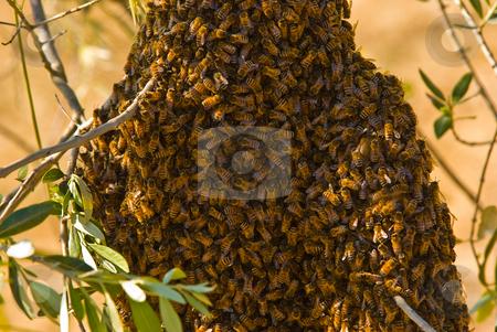 Westliche Honigbiene (Apis mellifera) - Honea Bee stock photo, Ie Westliche Honigbiene (Apis mellifera), auch Europ?ische Honigbiene genannt, ist eine Vertreterin der Gattung der Honigbienen. - The European honey bee or western honey bee (Apis mellifera) is a species of honey bee. by Wolfgang Heidasch