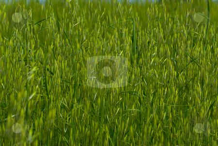 Hafer (Avena) - Oats stock photo, Hafer (Avena) ist eine Pflanzengattung in der Familie der S??gr?ser (Poaceae). - The oats (Avena) are a genus of 10-15 species  of true grasses (family Poaceae) by Wolfgang Heidasch