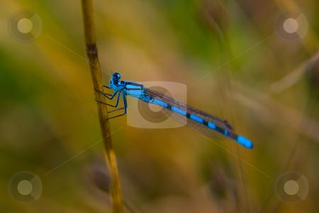 Gemeine Becherjungfer (Enallagma cyathigerum) - Common Blue Dams stock photo, Die Gemeine Becherjungfer (Enallagma cyathigerum), fr?her auch als Becher-Azurjungfer bezeichnet, ist eine Kleinlibellenart aus der Familie der Schlanklibellen (Coenagrionidae) - The Common Blue Damselfly (Enallagma cyathigerum) is a European damselfly. by Wolfgang Heidasch