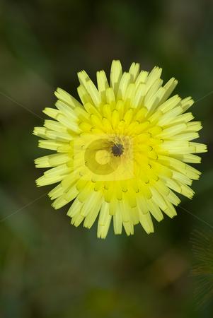 Habichtskraut (Hieracium) (Asteraceae). stock photo, Die Habichtskr?uter (Hieracium) bilden eine Pflanzengattung in der Familie der Korbbl?tler  (Asteraceae). by Wolfgang Heidasch