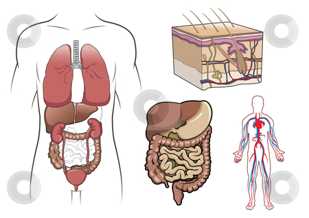 Human anatomy in vector stock vector similar images human digestive system in vector ccuart Images