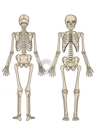 Human skeleton in vector stock vector clipart, Human skeleton, bone, anatomy, biology and skull in vector by Shamsul Ismin Tumin