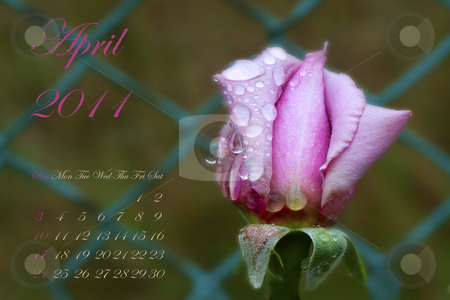 April 2011 stock photo, Page of 2011 calendar for April, with pink rose over green by Fabio Alcini