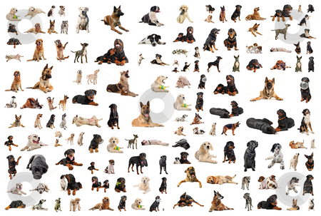 Dogs stock photo, Composite picture with purebred  dogs in a white background by Bonzami Emmanuelle