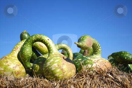 Green pumpkins stock photo, Pretty different types of pumpkins for sale by Viktor Thaut