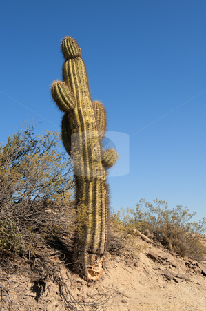 Cactus in a desert landscape. stock photo, Cactus in a desert landscape, northern argentina. by Pablo Caridad