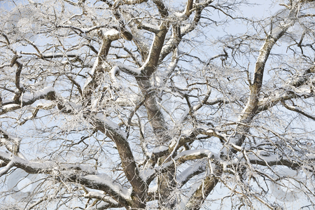 Winter tree stock photo, Majestic winter tree by Anne-Louise Quarfoth