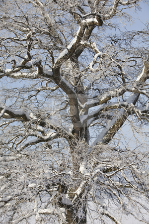 Tree ar winter stock photo, Mejestic tree at winter by Anne-Louise Quarfoth