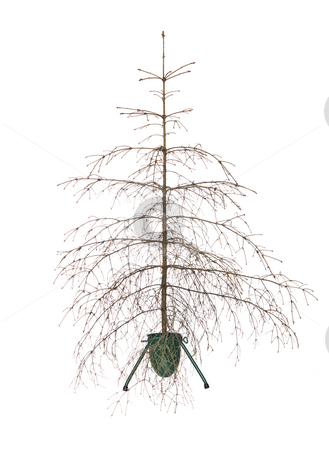 Christmas tree stock photo, Dead christmas tree isolated on a white background by Anne-Louise Quarfoth