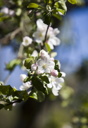 Apple Blossom with short focal depth on a sunny day stock photo, Apple Blossom with short focal depth on a sunny day by Anne-Louise Quarfoth