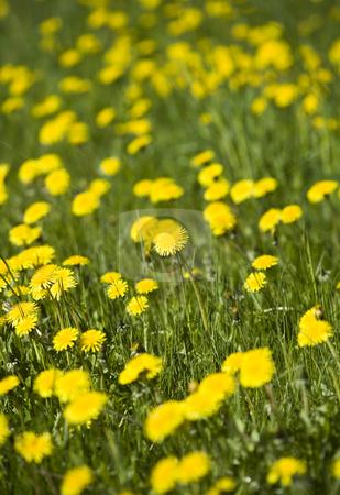 Dandelion on a field stock photo, Dandelion on a field by Anne-Louise Quarfoth