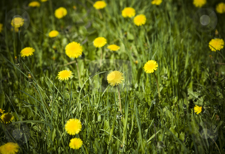 Field with dandelions stock photo, Field with dandelions by Anne-Louise Quarfoth