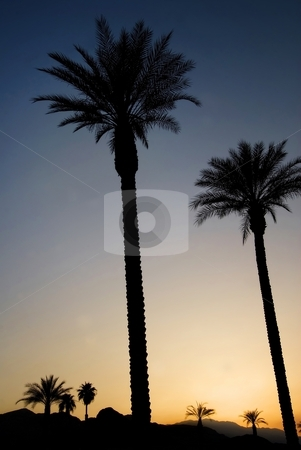 Palms at Sunset stock photo, Palm trees against a deep blue sky at sunset, Palm Springs, California. by Mary Lane