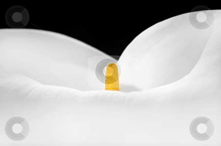 Lily Closeup stock photo, Closeup of the centre of a lovely calla lily. by Mary Lane