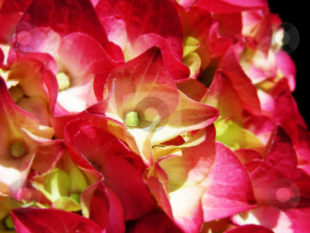 Pink Hydrangea stock photo, Deep rosy pink colors in these hydrangea flowers. by Mary Lane