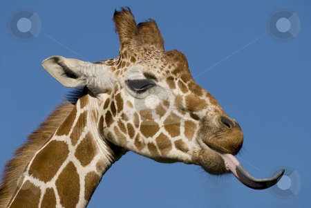 Bleeh stock photo, Head shot of a giraffe being very rude. by Mary Lane