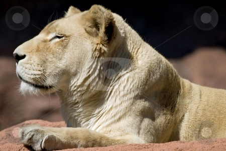 Lion stock photo, Regal looking lion, resting and sunning herself at the zoo. by Mary Lane