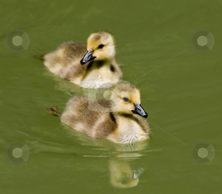 Goslings Swimming stock photo, What's cuter than a gosling? Two of them. Brand new Canada Geese, swimming in the local pond. by Mary Lane
