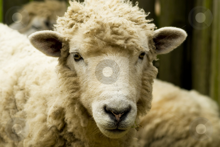 Classy Sheep stock photo, A classy looking sheep, on a farm at Louisburg, Nova Scotia. by Mary Lane