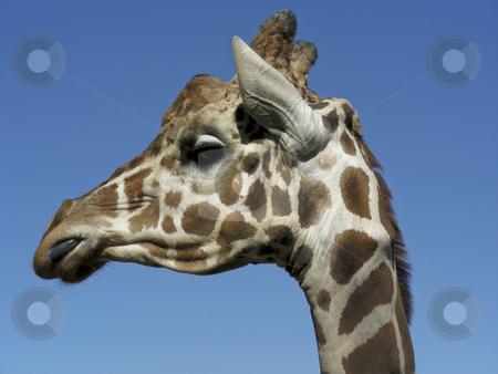 Giraffe stock photo, A giraffe licking his lips and looking pleased with himself. by Mary Lane
