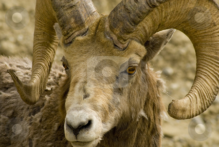 Adult Mountain Sheep stock photo, An adult Big Horned Mountain Sheep, checking out my car, Banff, Alberta by Mary Lane