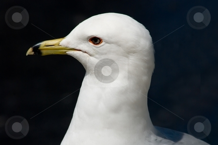 Proud Seagull stock photo, Head shot of a proud young seagull. by Mary Lane