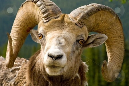 Big Horned Sheep stock photo, Those horns look like he's lost a few fights, but they are still impressive - Big Horned Mountain Sheep in Banff National Park, Banff, Alberta, Canada. by Mary Lane