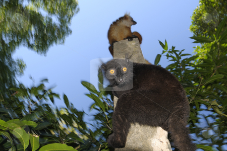 Black lemur stock photo, Two lemurs on a pole by Marco Barone