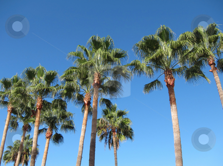 Palm trees and blue sky in Teneriffe. stock photo, Palm trees and blue sky in Teneriffe. by Stephen Rees