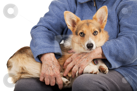 Old hands and young puppy stock photo, Caring hands of senior woman and young tri-color Permbroke Welsh Corgi puppy sitting on her laps and waiting by Marek Uliasz