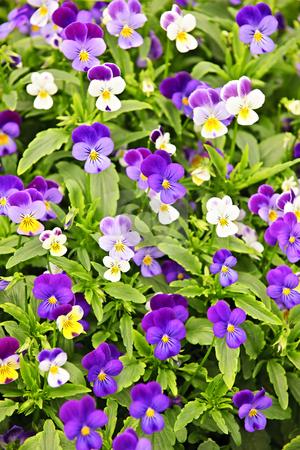 Pansies stock photo, Floral background of blooming purple pansies flowers by Elena Elisseeva