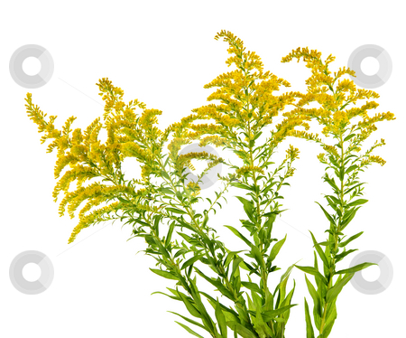 Goldenrod plant stock photo, Blooming goldenrod plant isolated on white background by Elena Elisseeva