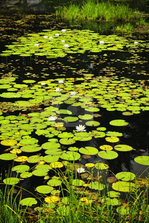Lily pads on lake stock photo, Lily pads and water lilies on lake surface in Northern Ontario wilderness by Elena Elisseeva