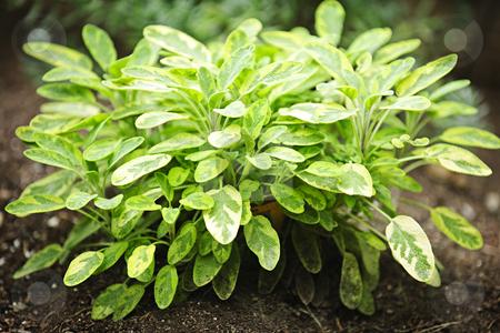 Sage plant stock photo, Fresh green sage herb plant growing in garden by Elena Elisseeva