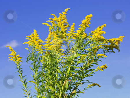 Goldenrod plant stock photo, Blooming goldenrod plant on blue sky background by Elena Elisseeva