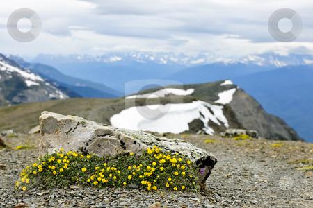Alpine meadow in Jasper National Park stock photo, Alpine meadow with potentilla flowers blooming on Whistlers mountain in Jasper National Park, Canada by Elena Elisseeva