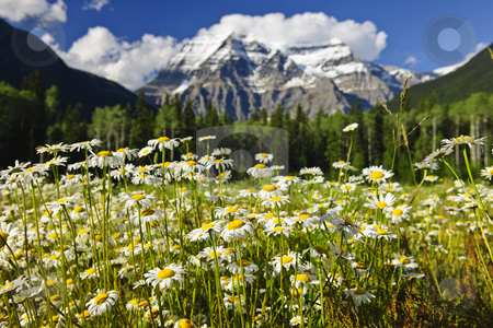 Daisies at Mount Robson provincial park, Canada stock photo, Daisies blooming at Mount Robson Provincial Park, Canada by Elena Elisseeva