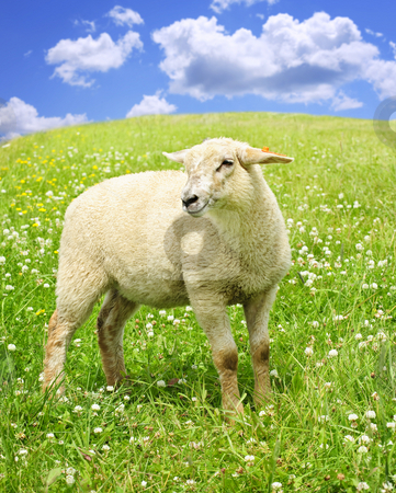 Cute young sheep stock photo, Cute happy sheep or lamb in green meadow by Elena Elisseeva