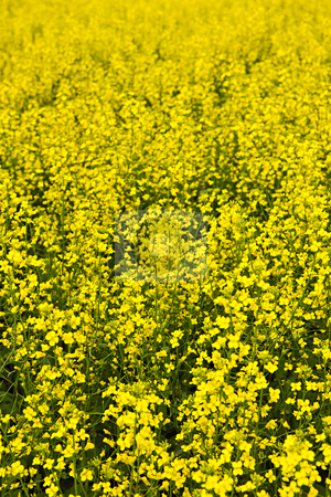 Canola plants stock photo, Closeup of flowering canola or rapeseed plants in field by Elena Elisseeva