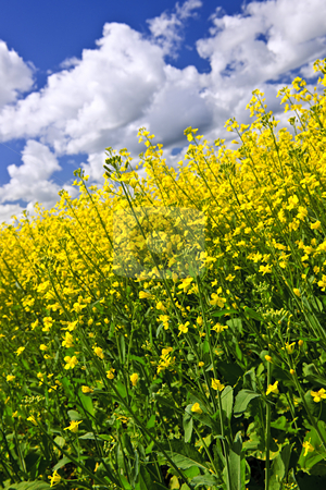 Canola plants in field stock photo, Canola or rapeseed plants growing in farm field, Manitoba, Canada by Elena Elisseeva