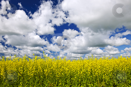 Canola field stock photo, Agricultural landscape of canola or rapeseed farm field in Manitoba, Canada by Elena Elisseeva