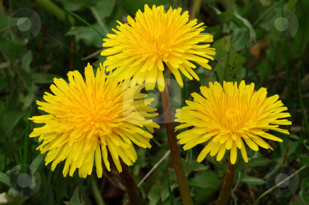 Dandelion stock photo, Dandelion Taraxacum officinale on a meadow close-up. by Vladimir Blinov