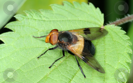 Fly on nettle leaf stock photo, Large black and yellow fly is sitting on a nettle leaf. by Vladimir Blinov