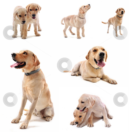 Labrador retriever stock photo, purebred  labrador retriever in front of a white background by Bonzami Emmanuelle