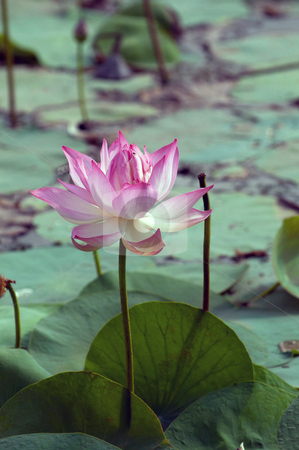 Lotus Pond stock photo, Pink lotus flowerat full bloom in a pond by Arvind Balaraman